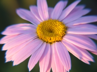 Pink Daisy Love